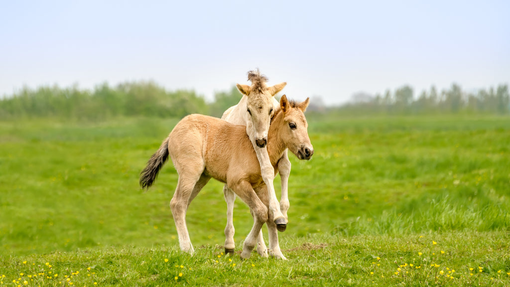 Two cute brown foals hugging in a grassy field