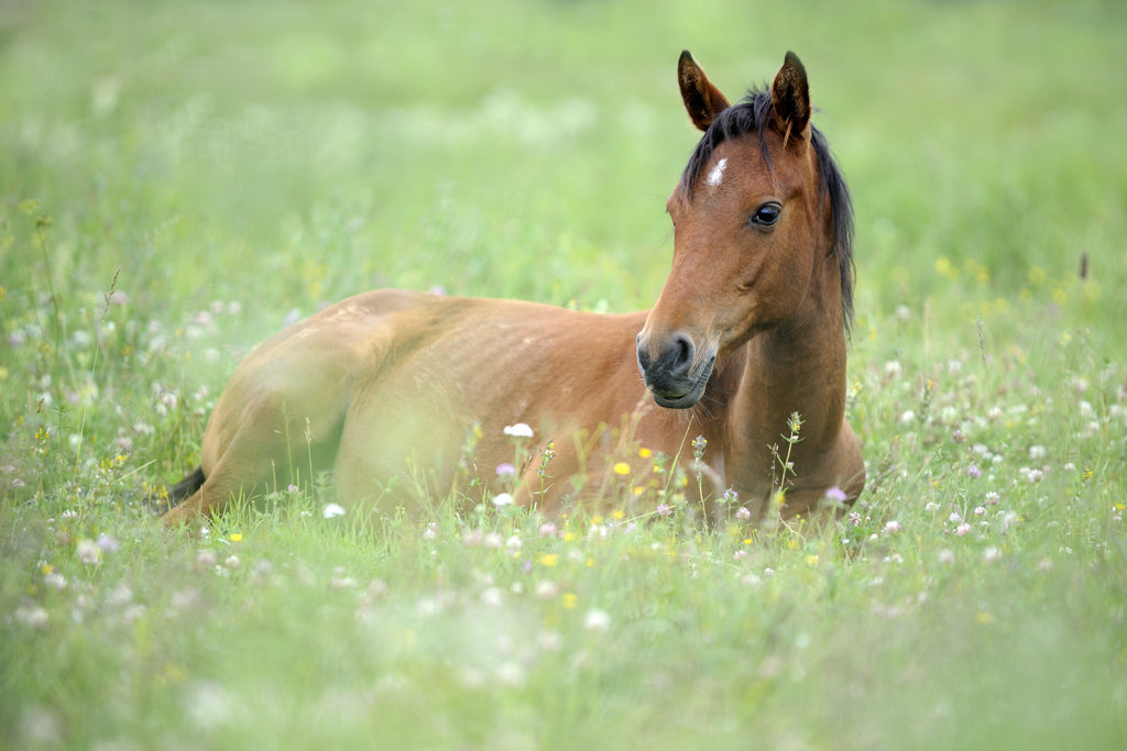 Brown horse laying in green grass with flowers
