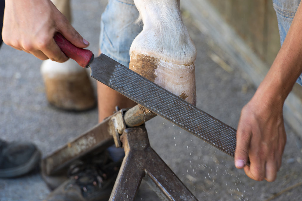 A barefoot trimmer using a rasp on a horse's hoof