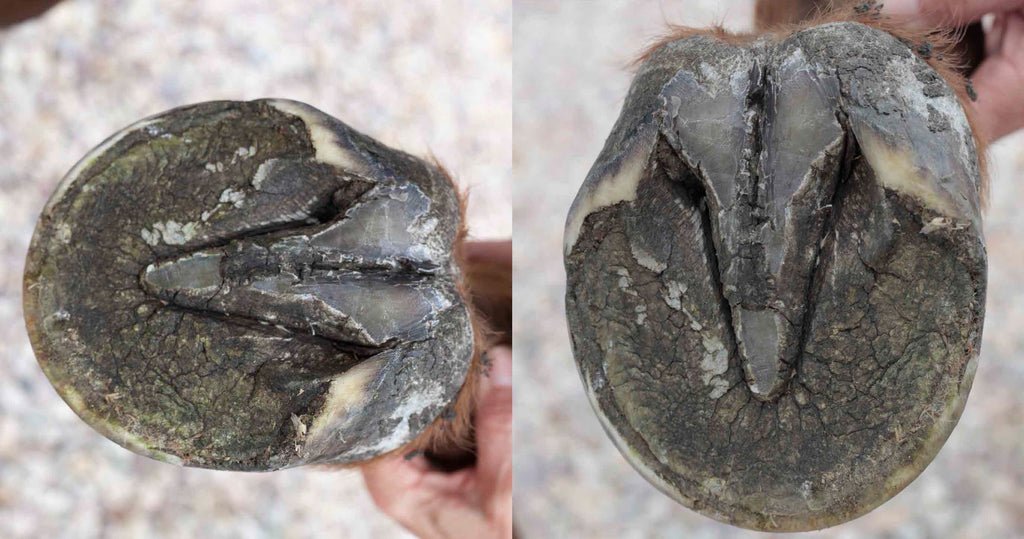 A perfect barefoot trim on a horse's hoof