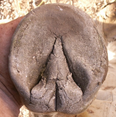 Caring About Horse Hoof Calluses…