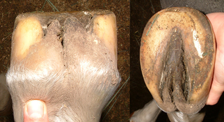 Contracted heels on a dirty barefoot horse hoof