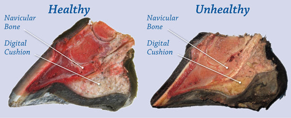 Cutaway comparisons of a healthy foot and an unhealthy foot. Note the difference in the size of the digital cushion below the DDFT and navicular bone.