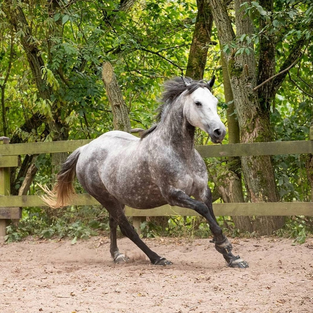 Grey horse wearing black Scoot Boots cantering in a sand arena with a green leafy background