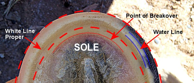 A diagram of the white line and sole of a horse's hoof