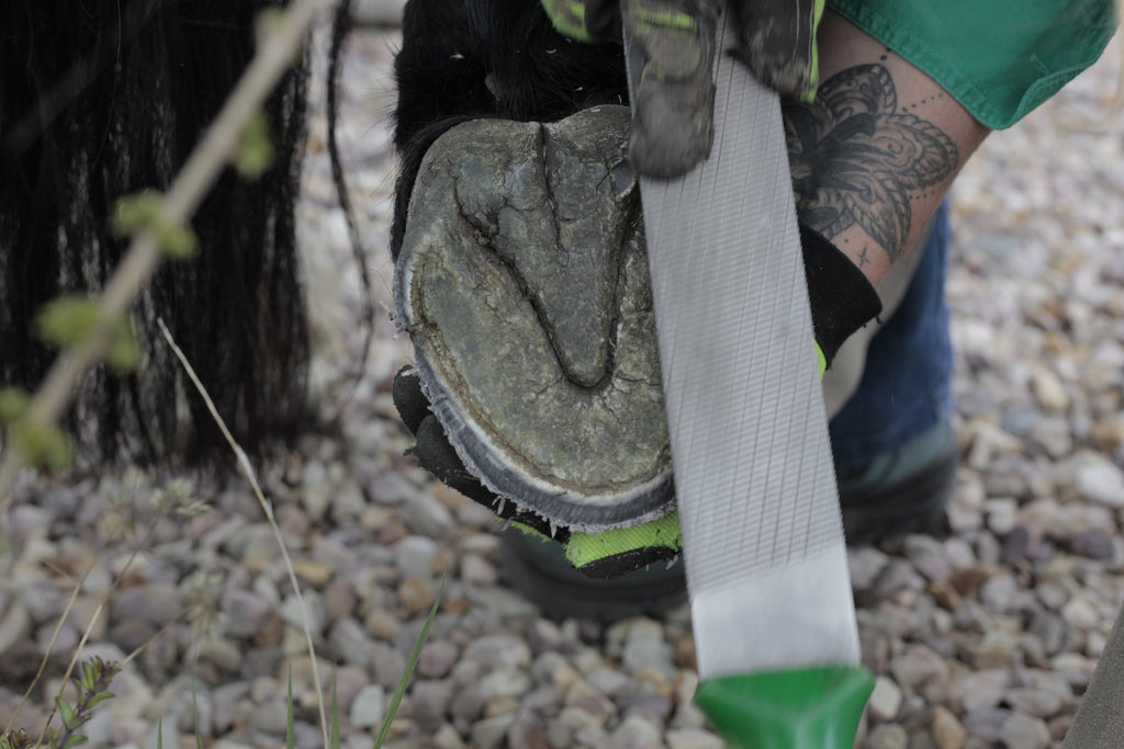 A barefoot trimmer rasping the bottom of a horse's hoof