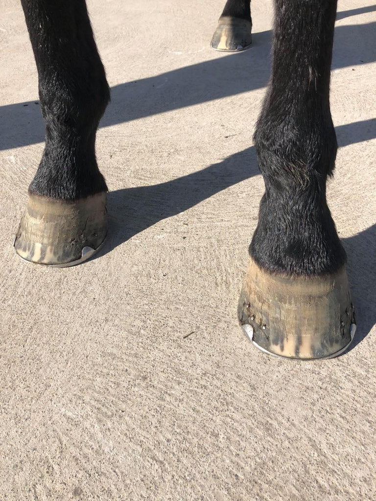 A black horse wearing metal shoes standing on the pavement