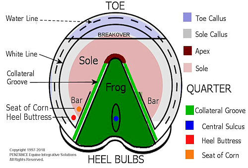 Functional Anatomy of the Equine Hoof - Scoot Boots
