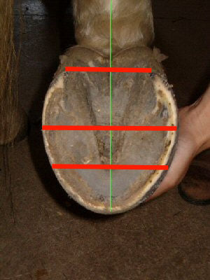 An example of the 1/3 : 2/3 ratio on a barefoot horse's hoof