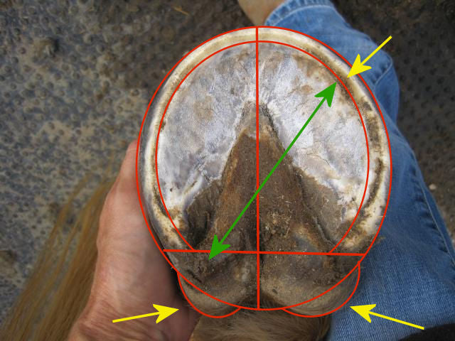 A diagonally imbalanced horse's hoof