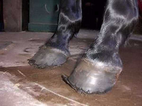 A black horse with flared, chipped hooves