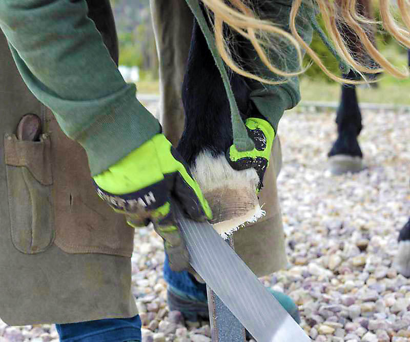 Rasping the hoof wall during a barefoot trim on a horse