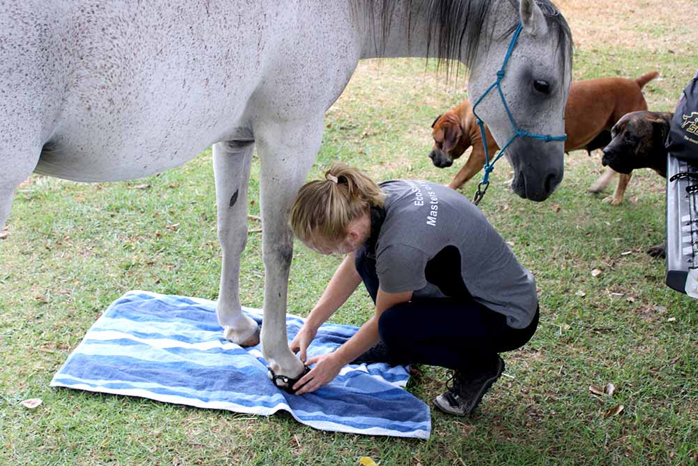 A white horse being fitted up with Scoot Boots