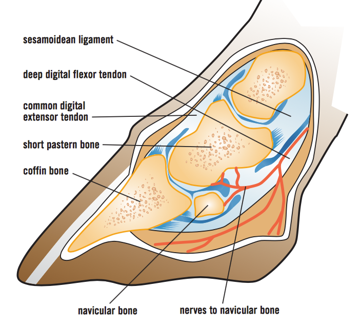 The anatomy of a horse's hoof