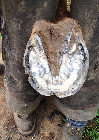 White Line Disease Hoof