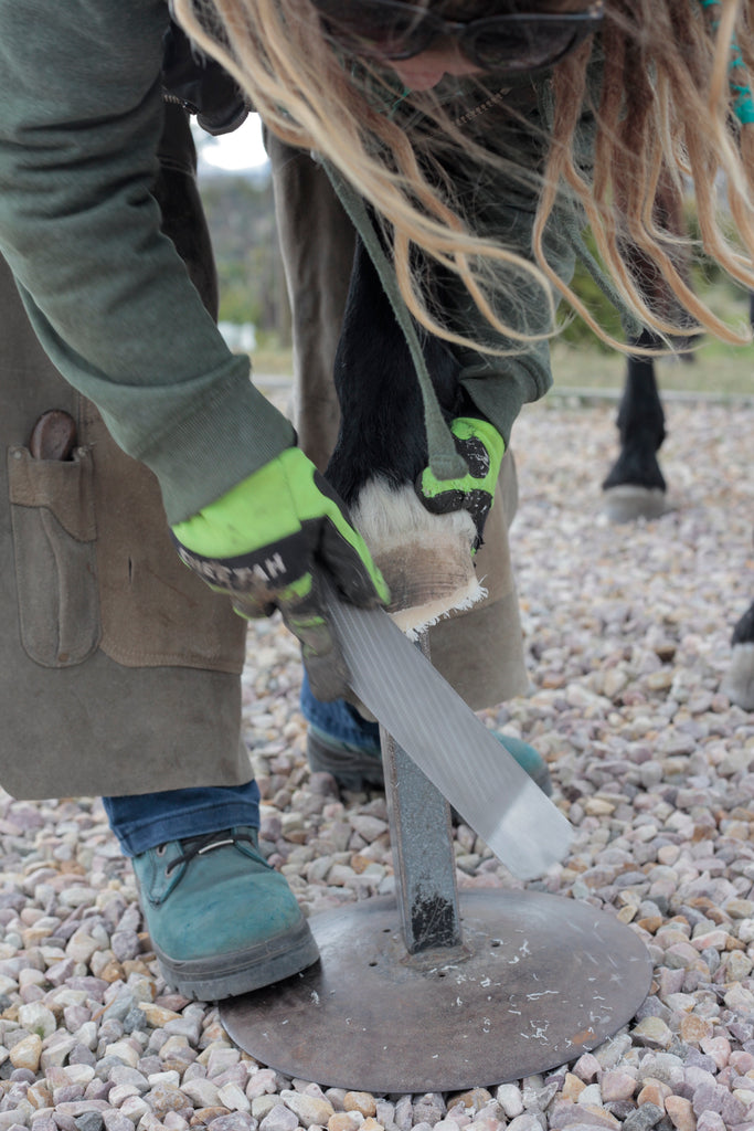 A barefoot trimmer using a rasp on a horse's hoof wall