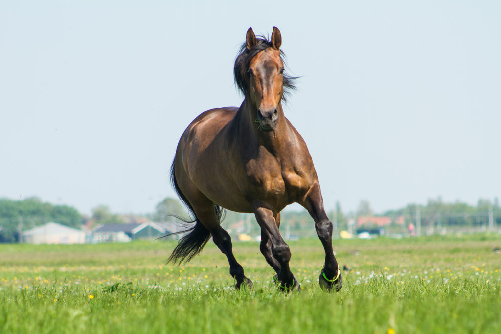 A brown strong horse galloping in a grassy green paddock, wearing green Scoot Boots