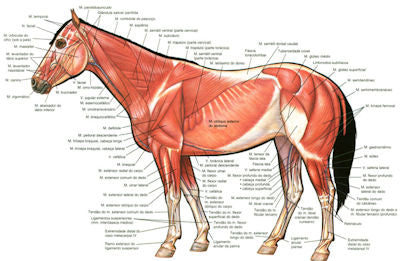 The muscular and skeletal anatomy of a horse