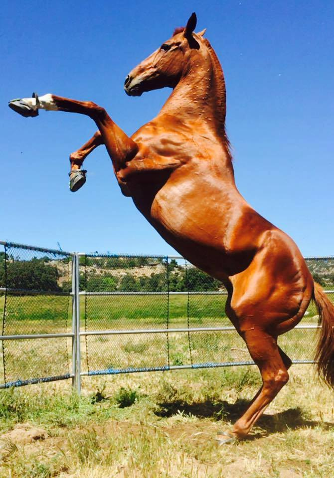 A brown horse rearing up in blue Scoot Boots