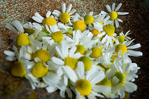 Chamomile_from_our_garden_Conor_Dupre-Neary