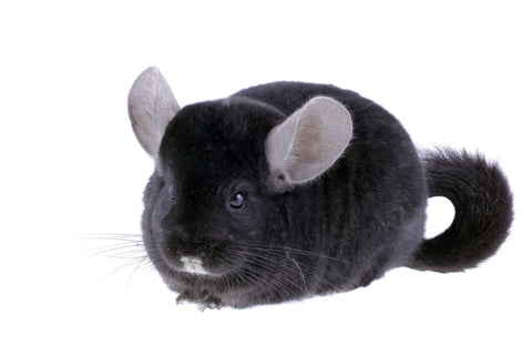 chinchilla care learn the basics of chinchilla care before you adopt
