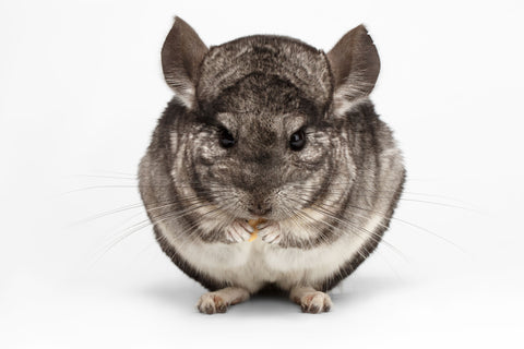 Eating Chinchilla