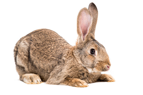 Rabbit Leash Flemish Giant