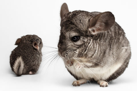Potty Train Chinchilla