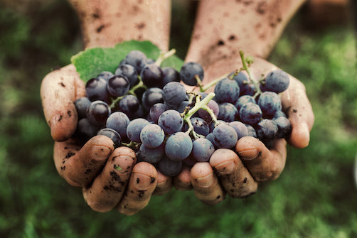 Healthy wine grapes