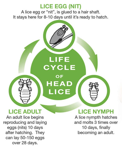 Lice Nit Life Cycle
