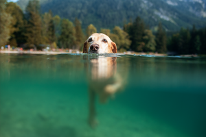 Dogs and Harmful Algae Blooms