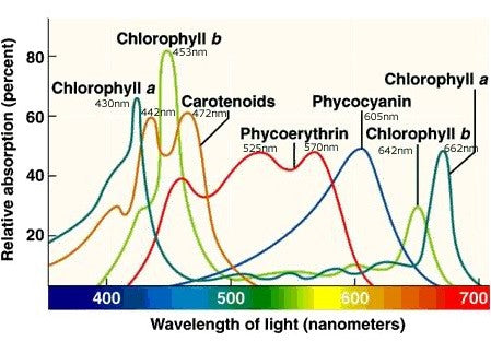 Relative absorbance of light by photosynthetic pigments as a function of wavelength