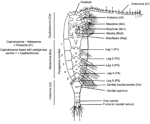 Image of the anatomy of a copepod