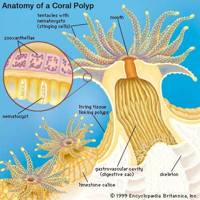 Coral anatomy