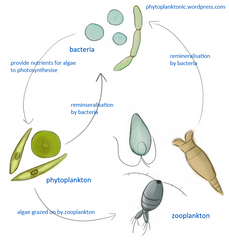 Phytoplankton to zoo plankton food web