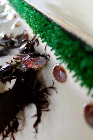 White abalone on dulse algae