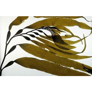 I will collect and ship Macrocystis (giant kelp) from Southern California.
