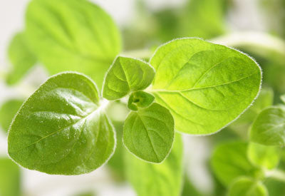 Myth: You Should Take Oregano Oil Internally Daily to Stay Healthy