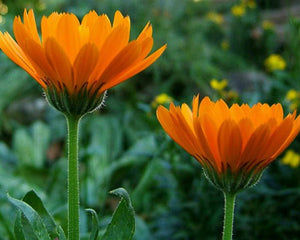 Calendula Macerate