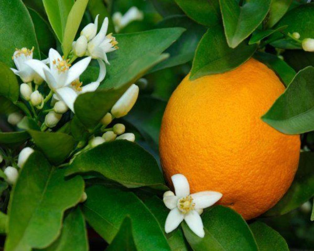 Neroli (Orange Blossom) Hydrosol