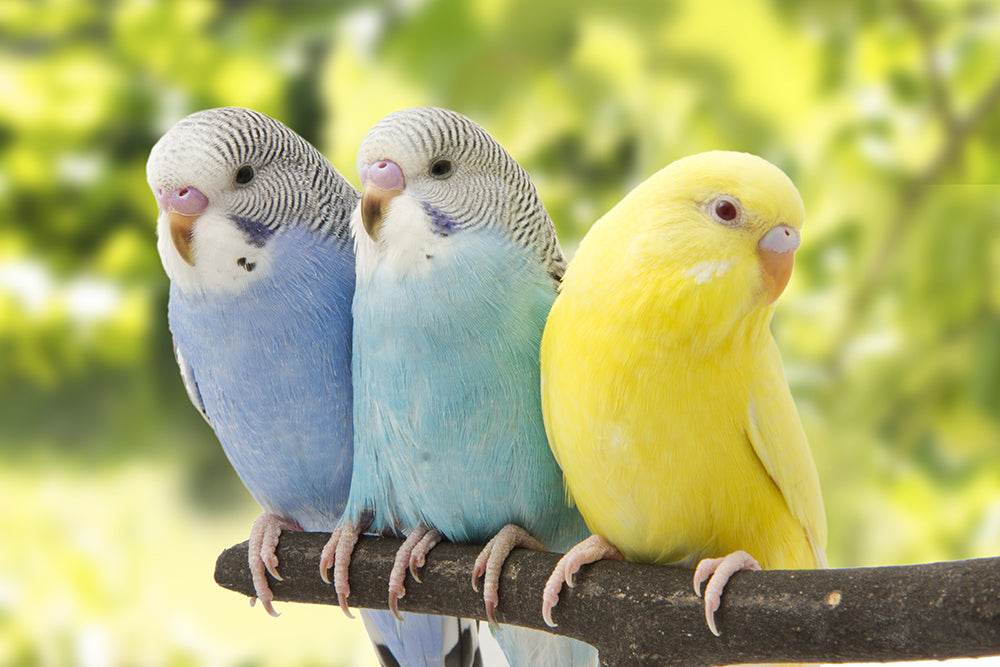Three Things To Know About Your Parakeet Homeoanimal Com