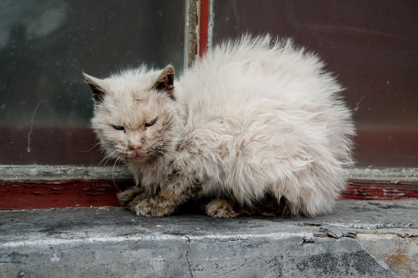 Non-sexually transmitted infections in cats