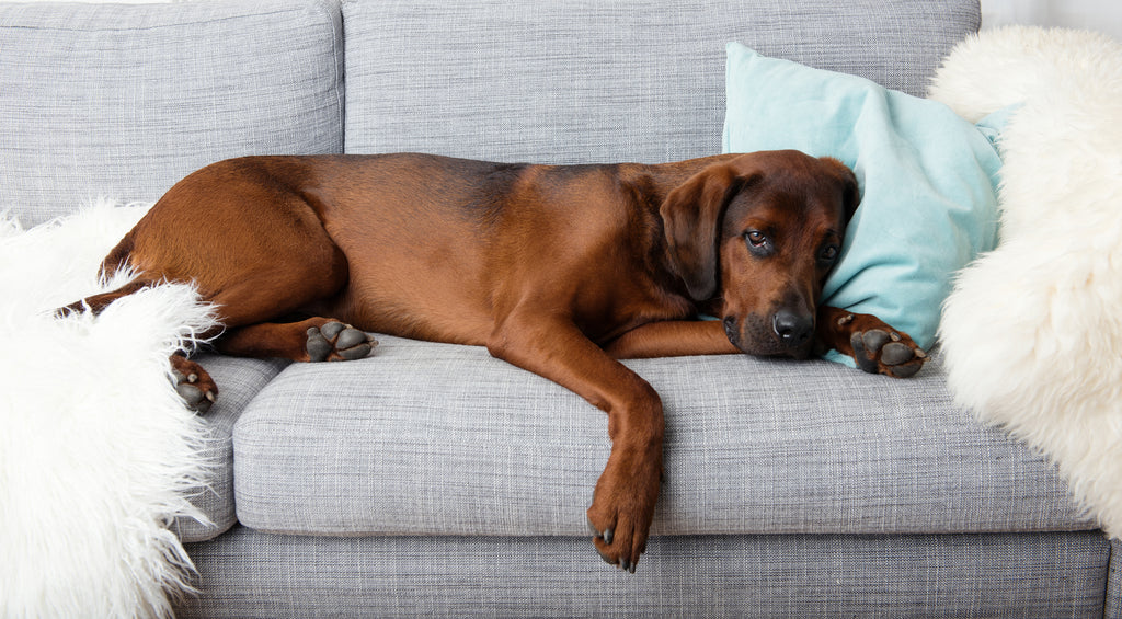 KIDNEY FAILURE IN DOGS, THE COMPLETE GUIDE: CAUSES, SYMPTOMS AND SOLUTIONS