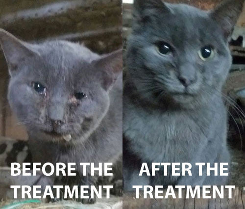 Here S What To Do When Your Cat Has The Flu Coryza
