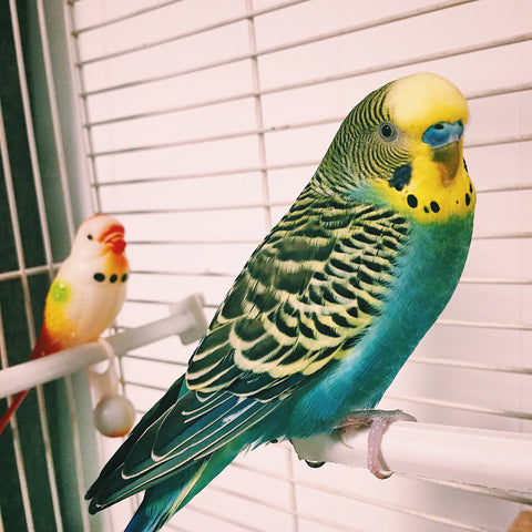 budgies and parakeet