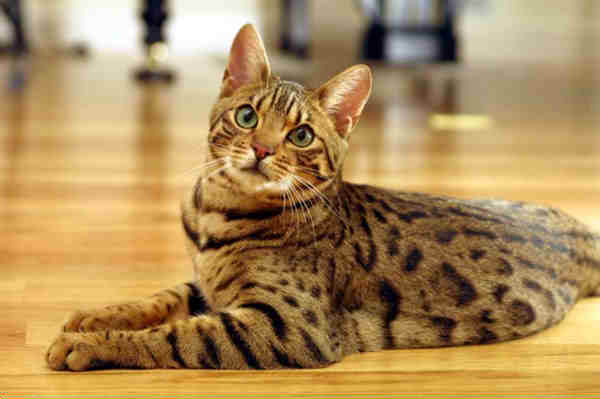 14 Best Hypoallergenic Cat Breeds Homeoanimal Com
