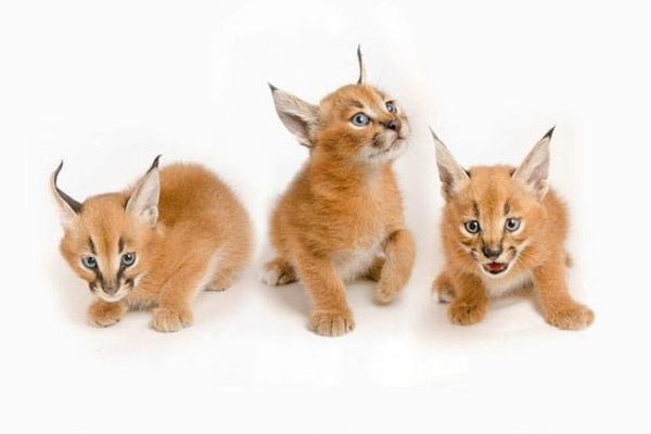 Baby Caracal Kittens