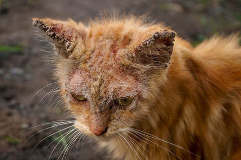 mange in cats picture - what does mange look like on a cat