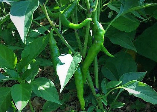 Top Ten Hottest Peppers