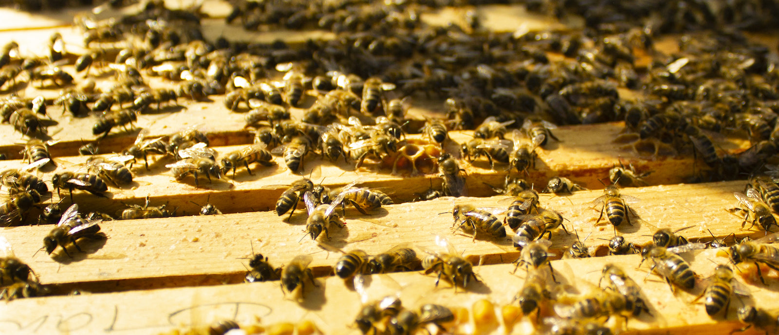 buckfast abbey honey bees